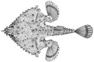 To NMNH Extant Collection (Malthopsis tiarella P14141 illustration)