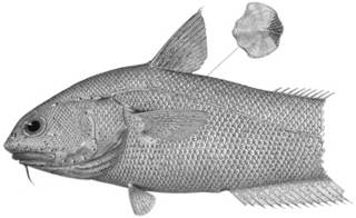 To NMNH Extant Collection (Malacocephalus abyssorum P14166 illustration)