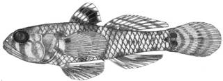 To NMNH Extant Collection (Mahidolia pagoensis P14173 illustration)