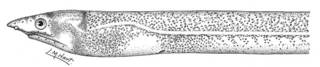 To NMNH Extant Collection (Sphagebranchus moseri P05329 illustration)