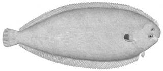 To NMNH Extant Collection (Solea vulgaris P05357 illustration)