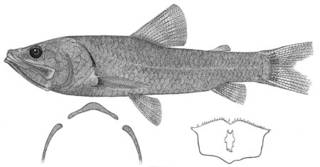 To NMNH Extant Collection (Solivomer arenidens P05366 illustration)