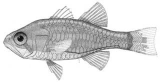 To NMNH Extant Collection (Siphamia elongata P05392 illustration)