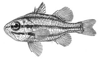 To NMNH Extant Collection (Siphamia versicolor P05397 illustration)
