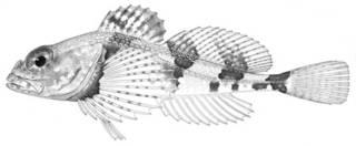 To NMNH Extant Collection (Stelgistrum beringianum P05225 illustration)