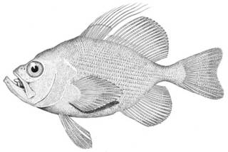 To NMNH Extant Collection (Steinegeria rubescens P05242 illustration)