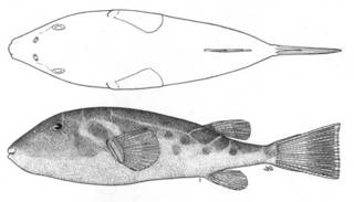 To NMNH Extant Collection (Sphoeroides sechurae P05290 illustration)