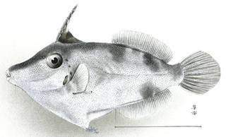 To NMNH Extant Collection (Stephanolepis pricei P05207 illustration)