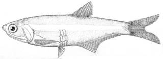 To NMNH Extant Collection (Anchoa compressa P00607 illustration)