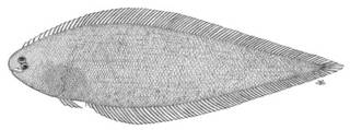 To NMNH Extant Collection (Symphurus paitensis P05054 illustration)
