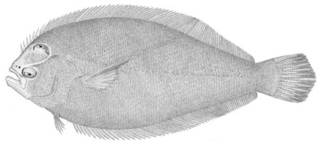 To NMNH Extant Collection (Syacium papillosum P05068 illustration)
