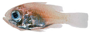 To NMNH Extant Collection (Siphamia USNM 341591 photograph lateral view)