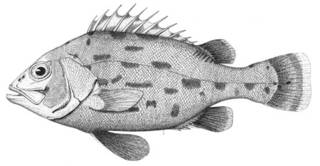 To NMNH Extant Collection (Stereolepis gigas P15885 illustration)