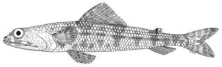 To NMNH Extant Collection (Synodus binotatus P04960 illustration)