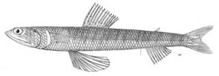 To NMNH Extant Collection (Synodus cinereus P04961 illustration)