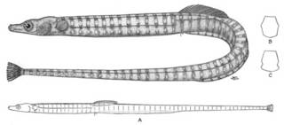 To NMNH Extant Collection (Syngnathus independencia P04963 illustration)