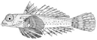 To NMNH Extant Collection (Synchiropus morrisoni P05006 illustration)