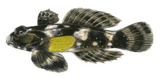 To NMNH Extant Collection (Synchiropus lili P05007 illustration)