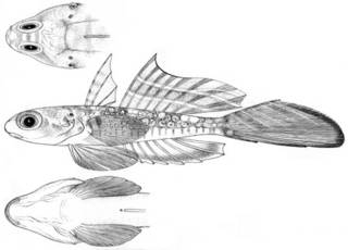 To NMNH Extant Collection (Synchiropus delandi P05012 illustration)
