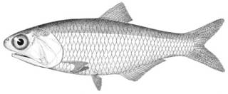 To NMNH Extant Collection (Stolephorus gilberti P05125 illustration)