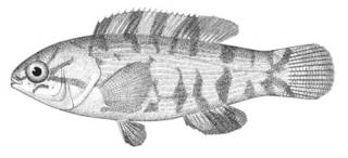 To NMNH Extant Collection (Tautoga onitis P04705 illustration)