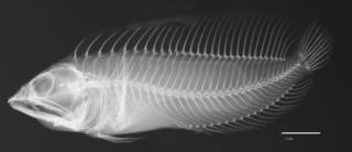 To NMNH Extant Collection (Chasmodes bosquianus longimaxilla USNM 219830 holotype radiograph lateral view)