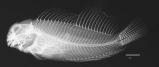 To NMNH Extant Collection (Cirripectes gilberti USNM 274749 holotype radiograph lateral view)