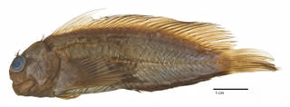 To NMNH Extant Collection (Cirripectus stigmaticus USNM 164962 type photograph lateral view)