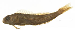 To NMNH Extant Collection (Blennophis semifasciatus USNM 194480 neotype photograph lateral view)