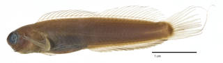To NMNH Extant Collection (Ecsenius aroni USNM 204468 holotype photograph lateral view)