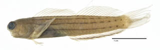 To NMNH Extant Collection (Ecsenius kurti USNM 227416 holotype photograph lateral view)