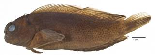 To NMNH Extant Collection (Cirripectes randalli USNM 227873 holotype photograph lateral view)