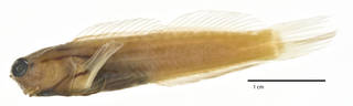 To NMNH Extant Collection (Ecsenius dentex USNM 276351 holotype photograph lateral view)