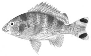 To NMNH Extant Collection (Terapon caudavittatus P04841 illustration)