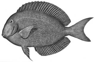 To NMNH Extant Collection (Teuthis atramentatus P04879 illustration)