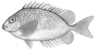 To NMNH Extant Collection (Teuthis doliata P04882 illustration)