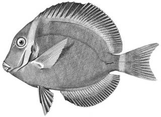 To NMNH Extant Collection (Teuthis leucopareus P04885 illustration)