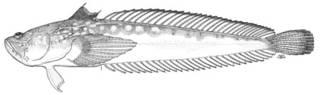 To NMNH Extant Collection (Thalassophryne depressa P04896 illustration)