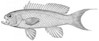 To NMNH Extant Collection (Tosana niwae P04737 illustration)
