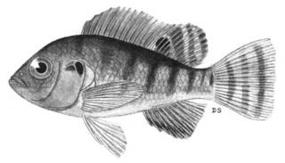 To NMNH Extant Collection (Tilapia zilli P04749 illustration)