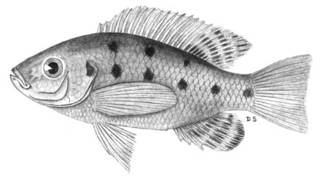 To NMNH Extant Collection (Tilapia natalensis P04756 illustration)