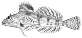 To NMNH Extant Collection (Thyriscus anoplus P04781 illustration)