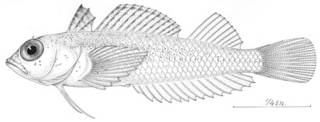 To NMNH Extant Collection (Tripterygion minutus P04553 illustration)