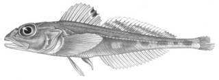 To NMNH Extant Collection (Triglopsis ommatistius P04566 illustration)