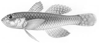 To NMNH Extant Collection (Trimma caesiura P12617 illustration)