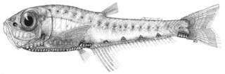 To NMNH Extant Collection (Valenciennellus tripunctulatus P10705 illustration)