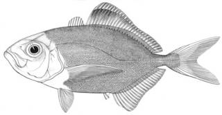 To NMNH Extant Collection (Uraspis pectoralis P15879 illustration)