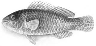 To NMNH Extant Collection (Nicholsina denticulatus P15954 illustration)
