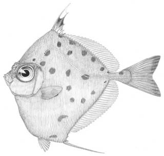 To NMNH Extant Collection (Xenolepidichthys dalgleishi P04325 illustration)