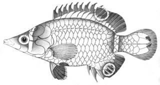 To NMNH Extant Collection (Wetmorella philippina P04349 illustration)
